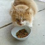 Allergie Alimentaire Chat
